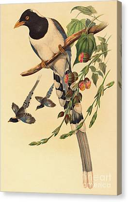 Blue Magpie, Urocissa Magnirostris Canvas Print by John Gould