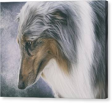 Blue Merle Rough Collie Canvas Print by Wolf Shadow  Photography