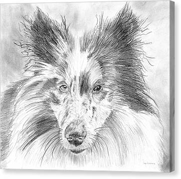 Blue Merle Sheltie Graphite Drawing Canvas Print by Amy Kirkpatrick