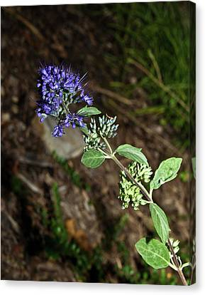 Blue Mist Spirea Canvas Print