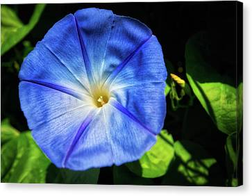 Blue Morning Glory - Retzer  Canvas Print