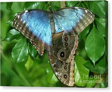 Blue Morpho Butterflies Canvas Print by Sabrina L Ryan