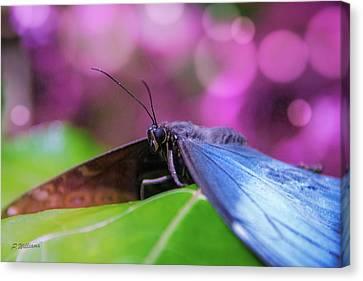 Blue Morpho  Butterfly 2 Canvas Print