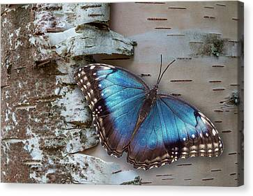 Blue Morpho Butterfly On White Birch Bark Canvas Print