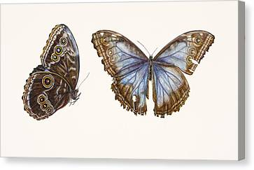 Blue Morpho Butterfly Canvas Print by Rachel Pedder-Smith