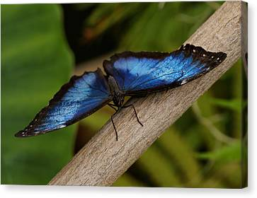 Blue Morpho Butterfly Canvas Print by Sandy Keeton