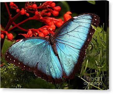 Blue Morpho Canvas Print by Mircea Costina Photography