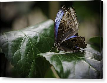 Canvas Print featuring the photograph Blue Morpho On A Leaf by Jason Moynihan