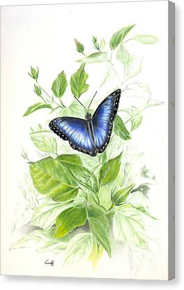 Blue Morpho On Hibiscus Canvas Print
