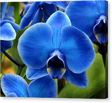 Blue Orchid Canvas Print by Peg Urban