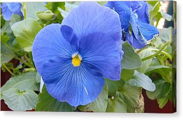 Blue Pansy Flower Canvas Print