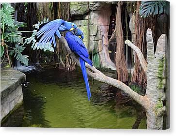 Blue Parrots Canvas Print
