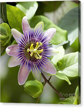 Blue Passion Flower #1 Canvas Print by Denise Woldring