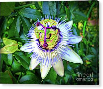 Blue Passion Flower Canvas Print by Sue Melvin