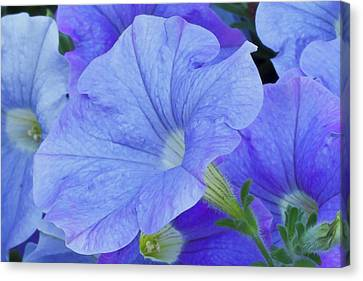 Country Magazine Decor Canvas Print - Blue Petunia Blossom by Sandra Foster