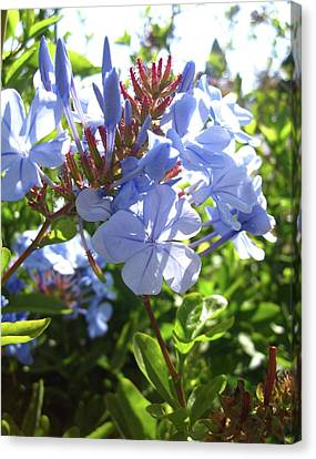 Canvas Print featuring the photograph Blue Plumbago by Mary Ellen Frazee