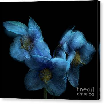 Blue Poppies Canvas Print by Amanda Elwell