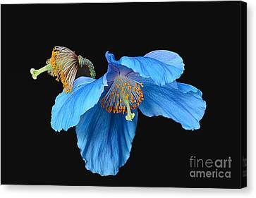 Blue Poppies Canvas Print by Cindy Manero