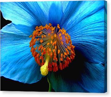 Blue Poppy II - Closeup Canvas Print by Robert Nankervis