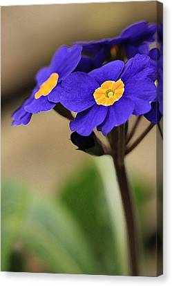 Blue Primrose Canvas Print by Amy Neal