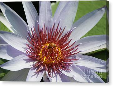 Blue Red Yellow Water Lily   # Canvas Print
