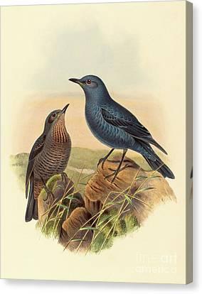 Blue Rockthrush Canvas Print by John Gould