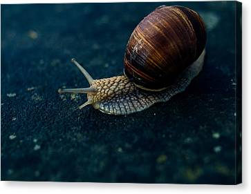 Blue Snail Canvas Print by Pati Photography