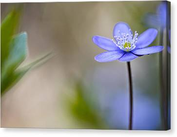 Blue Spring  Flower Magic Canvas Print