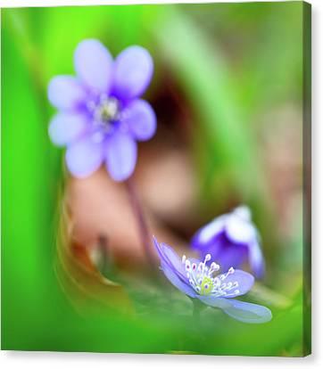 Blue Spring Wild Flower, Hepatica Nobilis Canvas Print