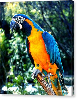 Blue Throated  Macaw 2 Canvas Print