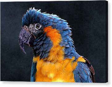 Blue-throated Macaw Profile Canvas Print