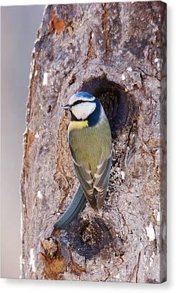 Blue Tit Leaving Nest Canvas Print by Cliff Norton