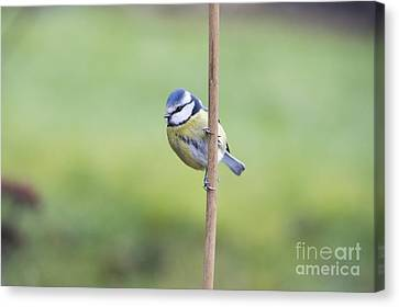 Titmouse Canvas Print - Blue Tit On A Garden Cane by Tim Gainey