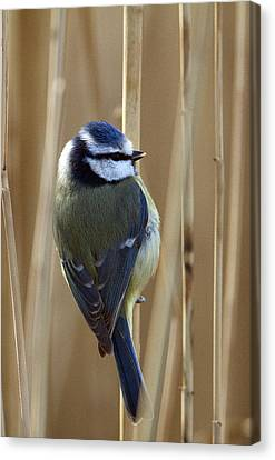 Blue Tit On Reed Canvas Print