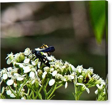 Blue Wasp 2 Canvas Print by Douglas Barnett