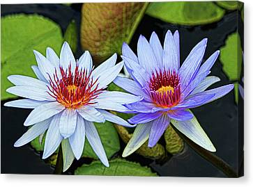 Canvas Print featuring the photograph Blue Water Lilies by Judy Vincent