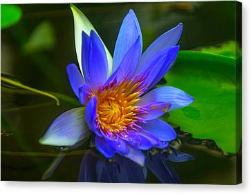 Blue Waterlily In Pond Canvas Print by Garry Gay