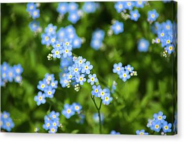 Blue Wildflowers Forget Me Nots Canvas Print by Christina Rollo