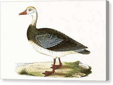 Blue Winged Goose Canvas Print by English School