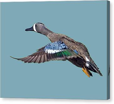 Blue-winged Teal Canvas Print by Larry Linton