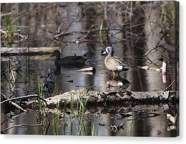 Blue Winged Teals Canvas Print by Dave Clark
