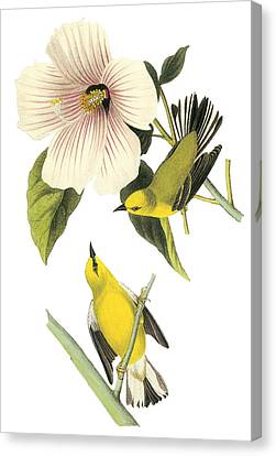Blue-winged Warbler Canvas Print by John James Audubon