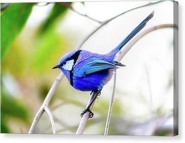 Canvas Print featuring the photograph Blue Wren, Margaret River by Dave Catley
