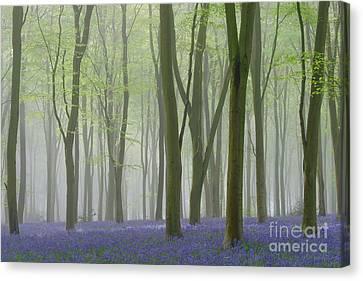 Foggy Day Canvas Print - Bluebell Mist Iv by Richard Thomas