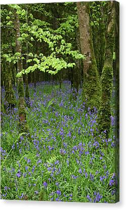 Bluebell Woods Canvas Print by Martina Fagan