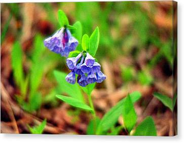Bluebells Canvas Print by C E McConnell