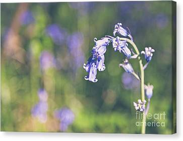 Bluebells - Natalie Kinnear Photography Canvas Print