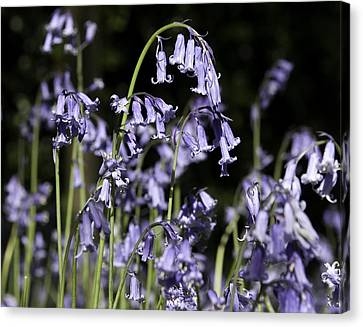 Bluebells Canvas Print by Peter Lloyd