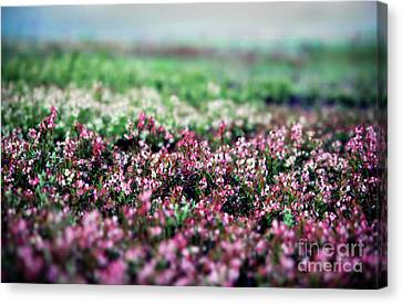 Canvas Print featuring the photograph Blueberry Blossoms  by Alana Ranney