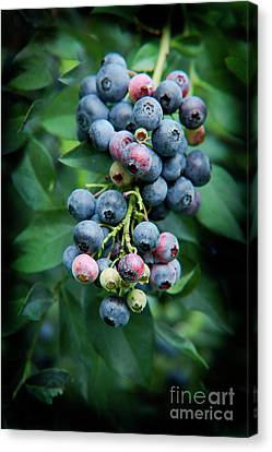 Blueberry Cluster Canvas Print by Kim Henderson